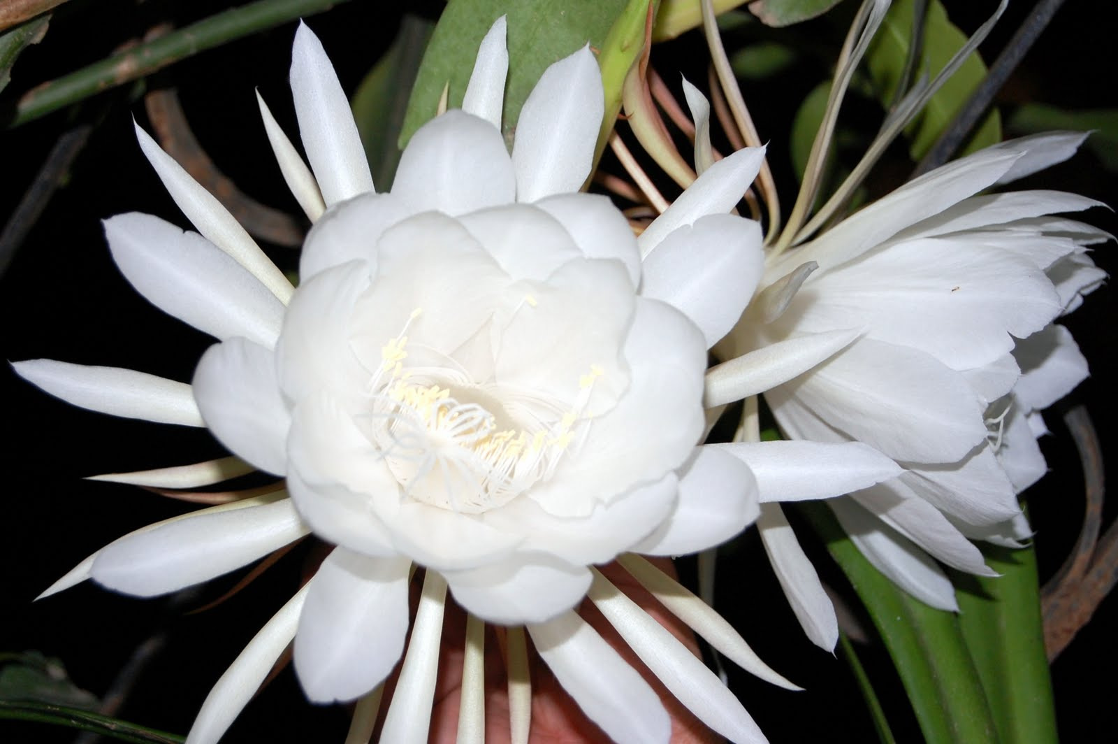 Brahma Kamal In Night
