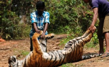 Tigers in Uttarakhand