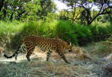 Leopard Poachers