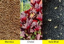 mandua cholai for malnutrition